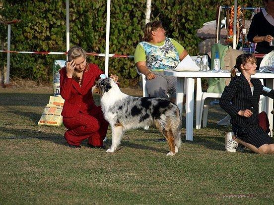 SammyJoe - Australian Shepherd (ASCA)